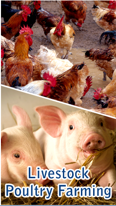 Livestock/Poultry Farming